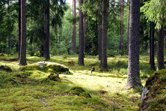 Spruce Forest. Spruce tree forest in sunlight. Photographed  in Tammela, Finland Stock Images