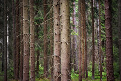 Spruce forest Stock Photos