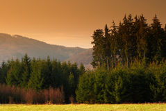 Spruce forest. View of landscape with spruce forest Stock Images