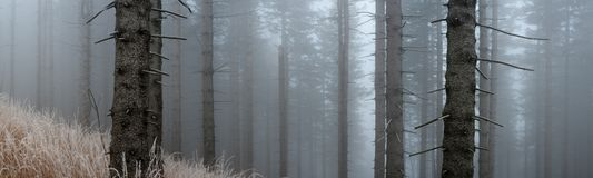 Spruce forest. In the late autumn mist Royalty Free Stock Photos