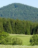 Spruce forest. In national park Royalty Free Stock Photos