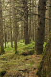 Spruce forest, Alaska Royalty Free Stock Photo