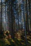 Spruce forest in Allgäu. Dark spruce forest in autumn on the mountains in Allgäu, Bavaria, Germany Stock Photos