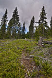 Spruce forest. Blueberry plant, cloudy sky Stock Photography