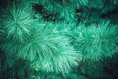 Spruce in the forest royalty free stock photos