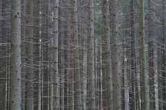 Spruce forest Royalty Free Stock Photo