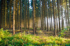 Spruce forest in the early morning light Royalty Free Stock Photos
