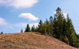 Spruce forest on the edge of hillside. Covered with weathered grass. lovely nature scenery in springtime under the blue sky with some clouds Stock Photography