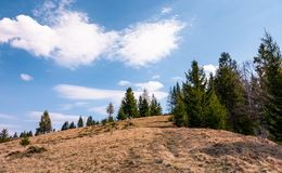 Spruce forest on the edge of hillside. Covered with weathered grass. lovely nature scenery in springtime under the blue sky with some clouds Royalty Free Stock Photos