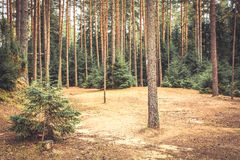 Spruce forest edge with pine trees and ground covered with fir needles in vintage colors. Spruce forest edge with pine trees and ground covered with fir needles Stock Photo