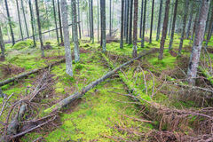 Spruce forest with fallen trees Royalty Free Stock Photos