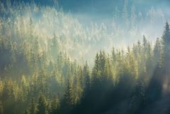 Spruce forest in fog on hillside at sunrise. Gorgeous nature background in autumn royalty free stock image