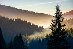 Spruce forest in fog at sunrise. Beautiful autumn scenery of Apuseni Mountains of Romania stock image