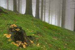 Spruce forest with fog Stock Photo