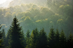 Spruce forest on foggy sunrise in mountains Stock Images