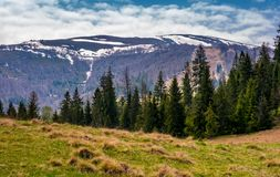 Spruce forest at the foot of mountain ridge. Beautiful springtime nature scenery in Carpathian alps Royalty Free Stock Photo