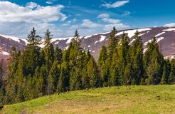 Spruce forest at the foot of the mountain. With snowy tops. lovely springtime nature scenery of Carpathian mountains stock image