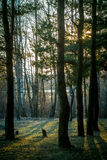 Spruce forest. Stock Photos