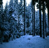 Spruce forest on a frosty winter morning Stock Photo