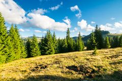 Spruce forest on the grassy hill. Beautiful landscape in autumn afternoon. location Apuseni mountains Royalty Free Stock Image