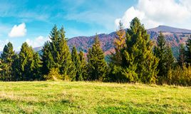 Spruce forest on a grassy hill side meadow. In mountains. wonderful warm weather with beautiful sky in autumn Royalty Free Stock Photography