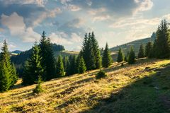 Spruce forest on the grassy hill at sunset. Beautiful landscape in autumn. location Apuseni mountains Stock Photography