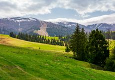 Spruce forest on grassy hills in mountains. Borzhava mountain ridge with snowy tops in the distance on a cloudy day royalty free stock image