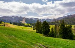Spruce forest on grassy hills in mountains. Borzhava mountain ridge with snowy tops in the distance on a cloudy day stock photos
