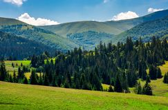 Spruce forest on grassy hills of Pylypets. Beautiful countryside at the foot of mighty Borzhava mountain ridge in summer Royalty Free Stock Photo