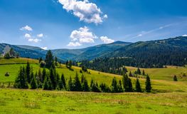 Spruce forest on grassy hills of Pylypets Stock Photos