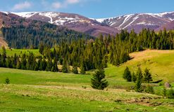 Spruce forest on grassy hills in springtime. Gorgeous landscape of Carpathian mountains with snowy tops in the distance stock photos