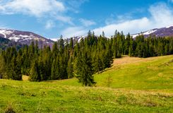 Spruce forest on the grassy hills. Beautiful nature scenery of Carpathian countryside. lovely landscape with snowy mountain tops in the distance stock images
