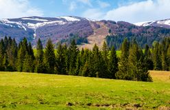 Spruce forest on the grassy hills. Beautiful nature scenery of Carpathian countryside. lovely landscape with snowy mountain tops in the distance stock photography
