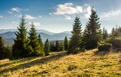 Spruce forest on grassy hills in sunset light. Gorgeous autumn scenery in Bihor mountains of Romania Stock Photo