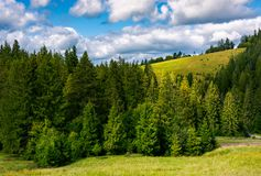 Spruce forest on the grassy hillside. Lovely landscape with gorgeous sky Royalty Free Stock Images