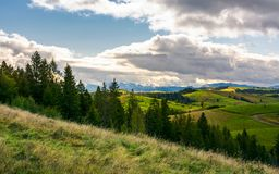 Spruce forest on the grassy hillside in mountains. Lovely landscape with gorgeous sky Stock Photography