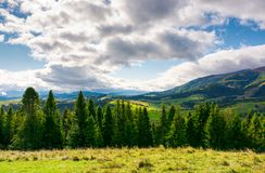 Spruce forest on the grassy hillside in mountains. Lovely landscape with gorgeous sky Stock Photo