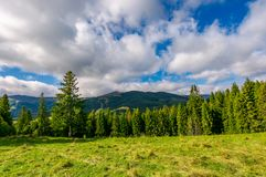Spruce forest on the grassy hillside. Lovely mountainous landscape with gorgeous sky Stock Photos