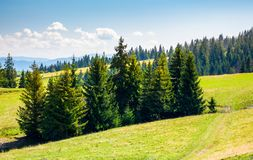 Spruce forest on a grassy hillside. Lovely summer scenery in mountains Royalty Free Stock Images