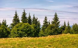 Spruce forest on a grassy meadow Royalty Free Stock Photography