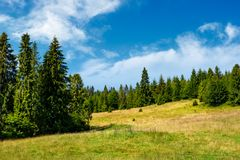 Spruce forest on a grassy meadow. Lovely summer scenery Royalty Free Stock Photo