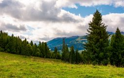 Spruce forest on a grassy meadow. Lovely summer scenery Royalty Free Stock Photography