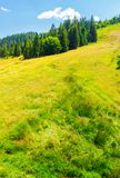 Spruce forest on a grassy slope. Lovely summer scenery on a bright sunny day royalty free stock image