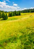 Spruce forest on a grassy slope. Lovely summer scenery on a bright sunny day Stock Photo