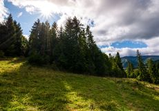 Spruce forest on a grassy slope. Beautiful nature scenery with bright sun on a cloudy day Royalty Free Stock Images