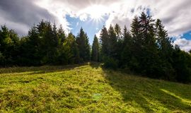 Spruce forest on a grassy slope. Beautiful nature scenery with bright sun on a cloudy day Stock Images