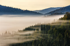 Spruce forest on a hill side in fog Stock Image