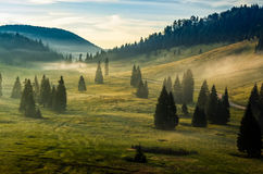 Spruce forest on a hill side in fog. Spruce forest on mountain hill side in fog on sunrise stock image