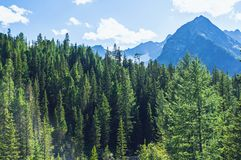 Spruce forest on a hill side meadow in high mountains. On a clear light solar summer day. Wild Siberian taiga Stock Image