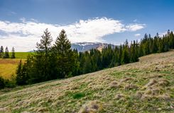 Spruce forest on hills with weathered grass. Lovely springtime scenery in Carpathian mountains royalty free stock images